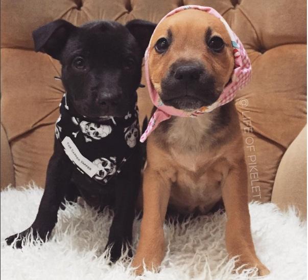 pit-bulls-cuidan-cachorros-9