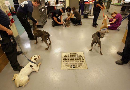 pit-bulls-rescatados-california-6