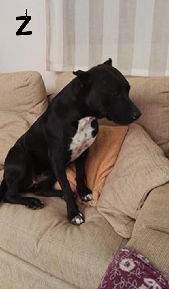 pitbull-rescatada-caso-lectora-veronica8