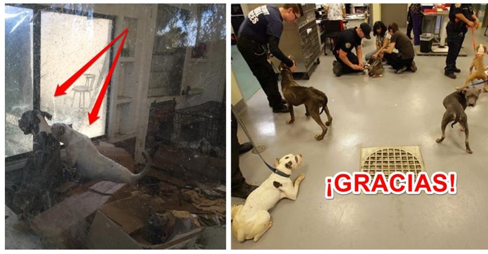 pitbulls-rescatados-muertos-de-hambre