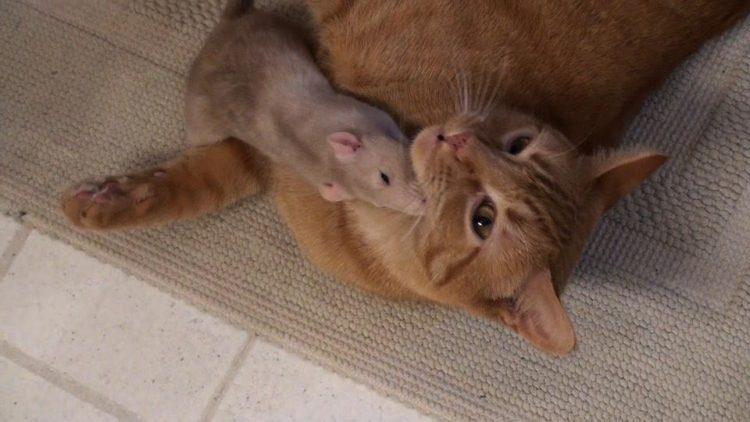 rata-gato2