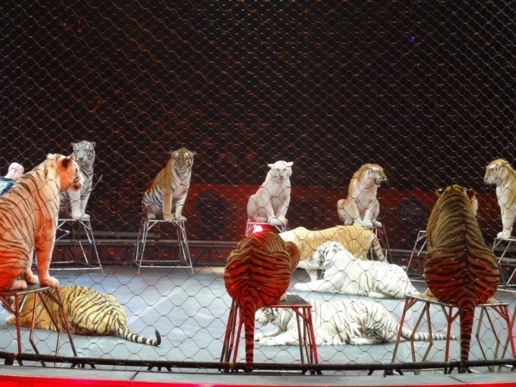 ringling-bros-tigres-1