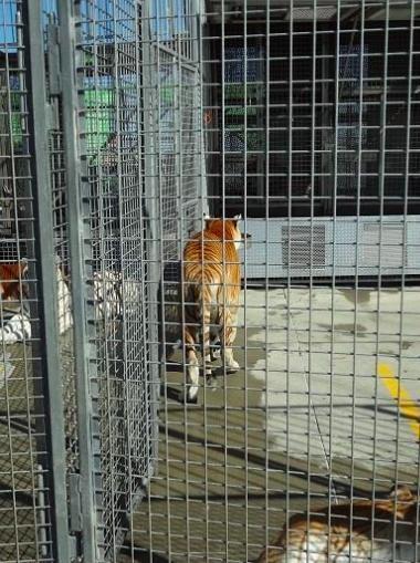 ringling-bros-tigres-11