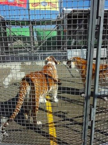 ringling-bros-tigres-12