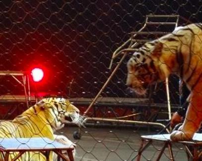 ringling-bros-tigres-15