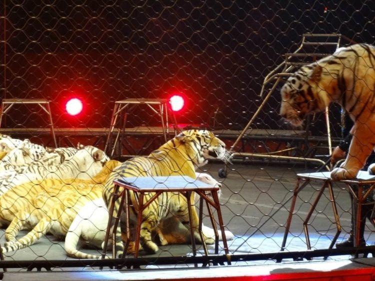 ringling-bros-tigres-3
