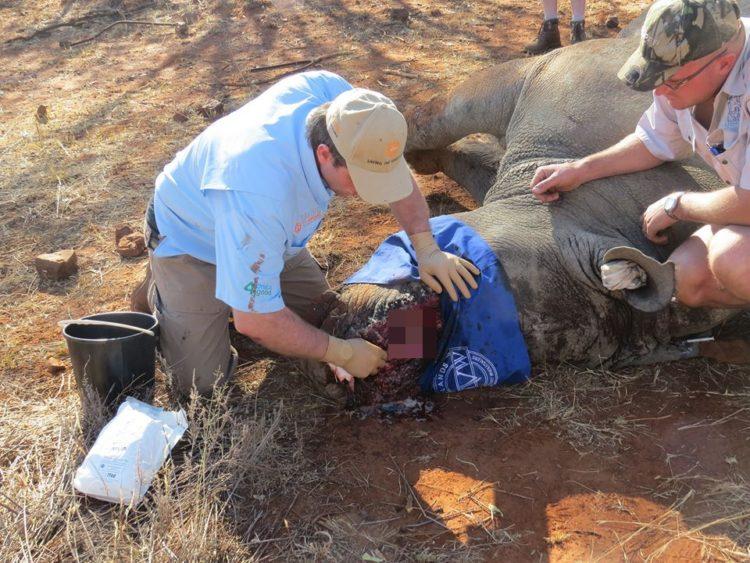 rinoceronte-cuernos-sobreviviente5
