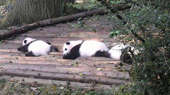 tiernos-pandas-11