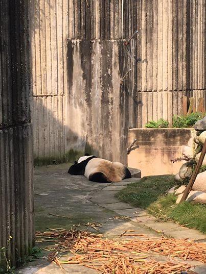 tiernos-pandas-3