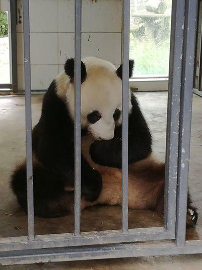 tiernos-pandas-4