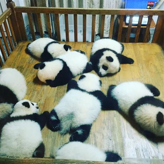 tiernos-pandas-6