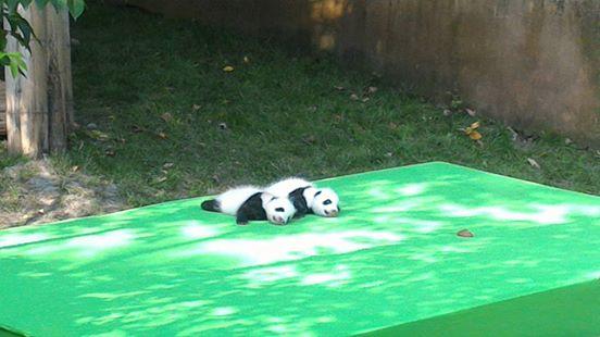 tiernos-pandas-7