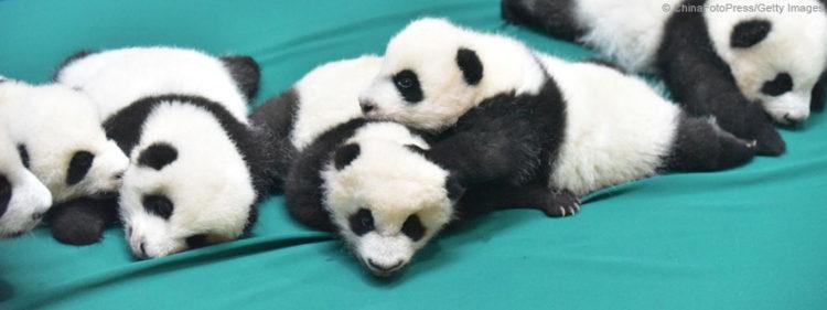 tiernos-pandas-8