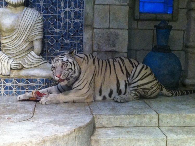 tigres-acuario-houston-10