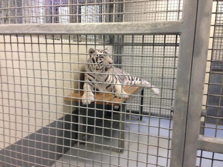 tigres-acuario-houston-5
