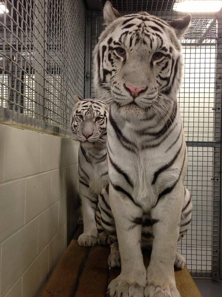 tigres-acuario-houston-6