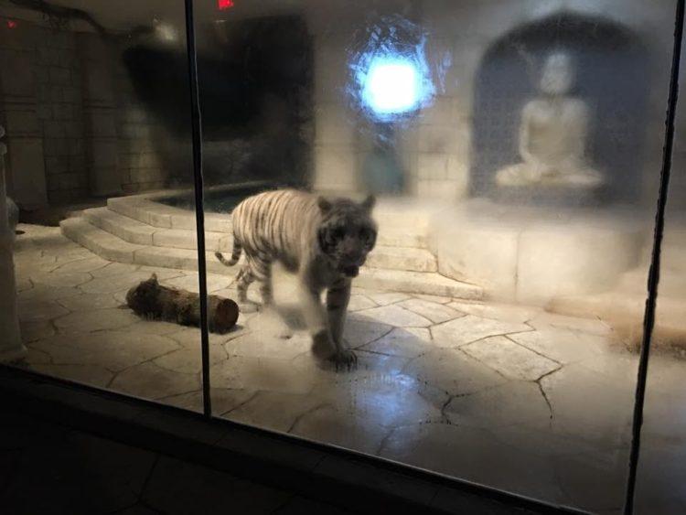 tigres-acuario-houston-7