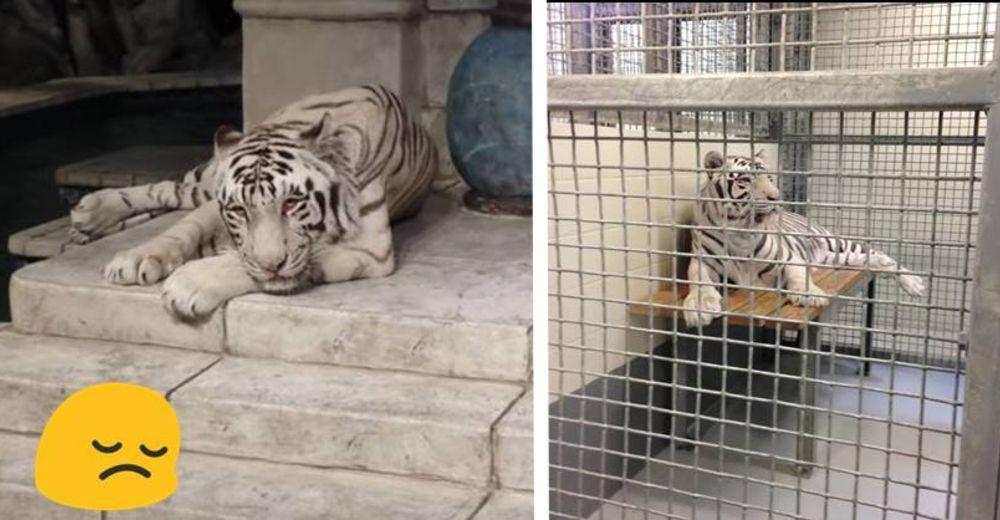 tigres-acuario-houston-id