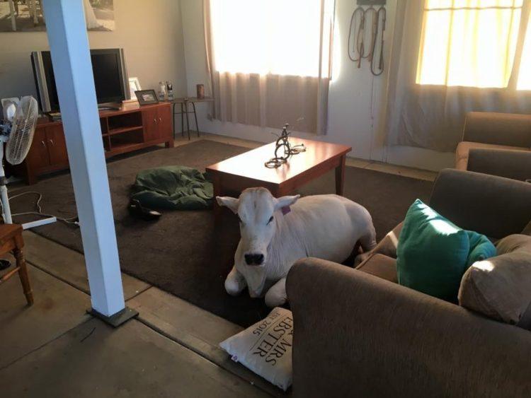 vaca-irrumpe-en-hogar-2
