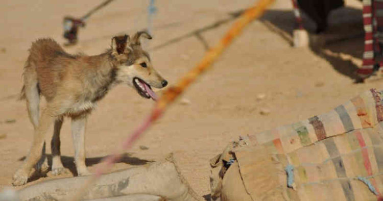 600-perros-bomba-usados-por-isis3