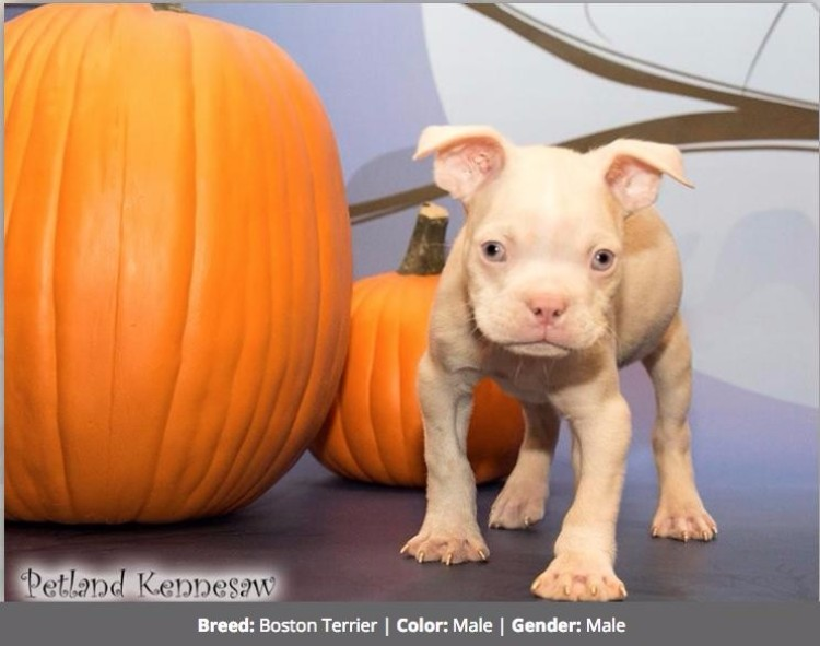 boston-terrier-albino-01