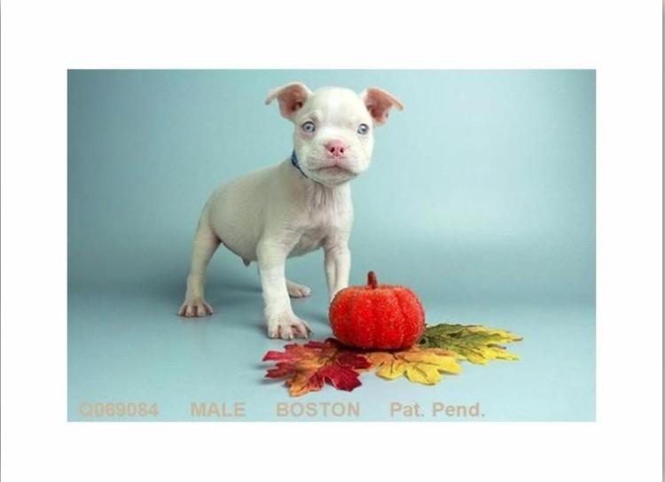boston-terrier-albino-04