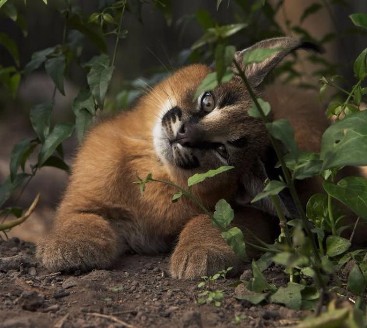 caracales-felinos-hermosos-06