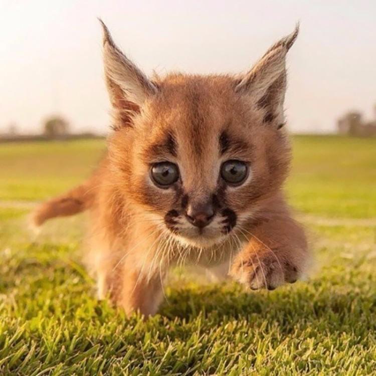 caracales-felinos-hermosos-09