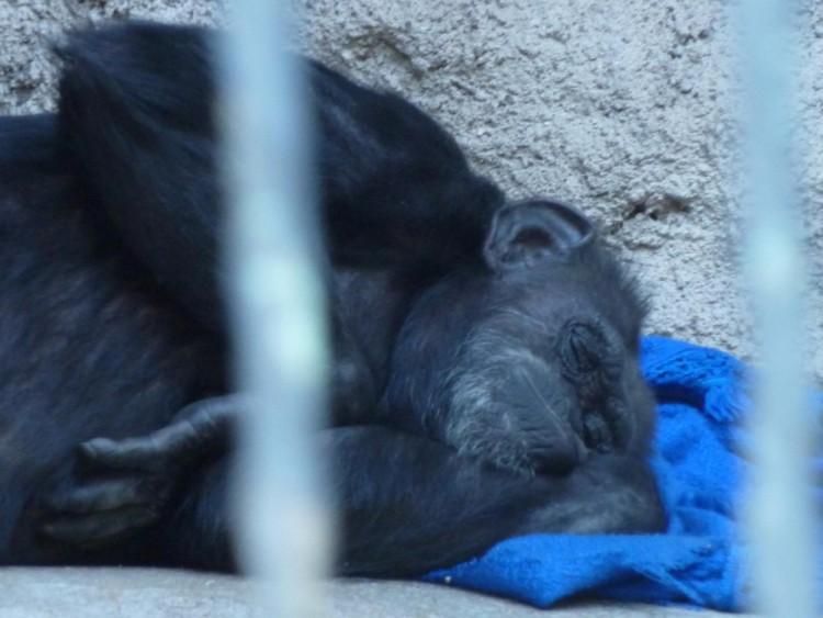 chimpance-cecilia-zoologico-mendoza-argentina-01