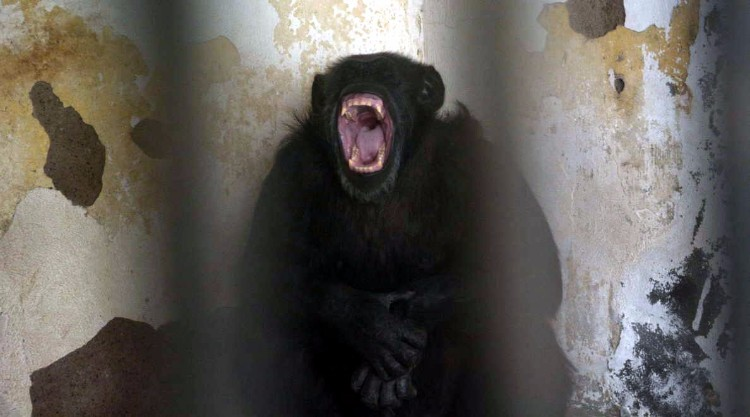 chimpance-cecilia-zoologico-mendoza-argentina-02