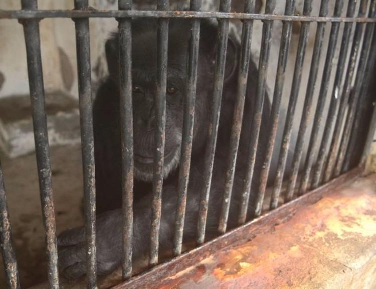 chimpance-cecilia-zoologico-mendoza-argentina-03