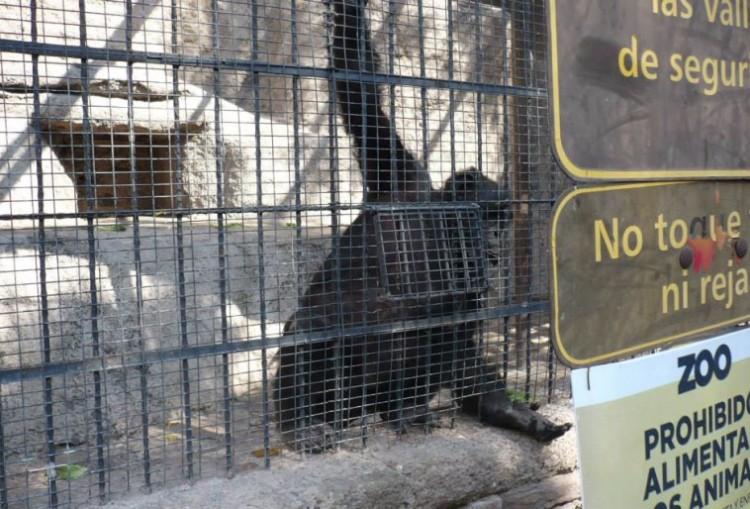 chimpance-cecilia-zoologico-mendoza-argentina-04