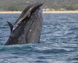 delfines-en-las-ballenas-y-otros-animales-que-montan-animales