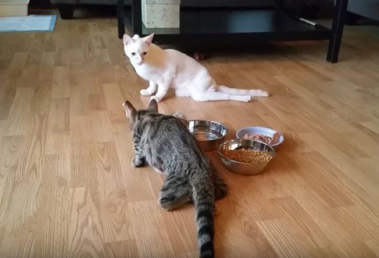 dos-gatos-extraordinarios-rescatados-juntos-2