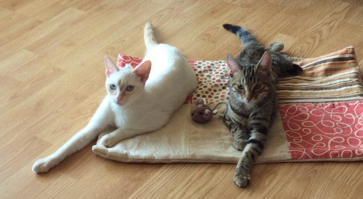 dos-gatos-extraordinarios-rescatados-juntos-5