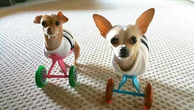 perros-de-la-misma-camdad-le-faltan-dos-patas-a-la-vez-1