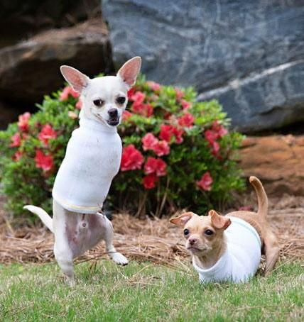 perros-de-la-misma-camdad-le-faltan-dos-patas-a-la-vez-8