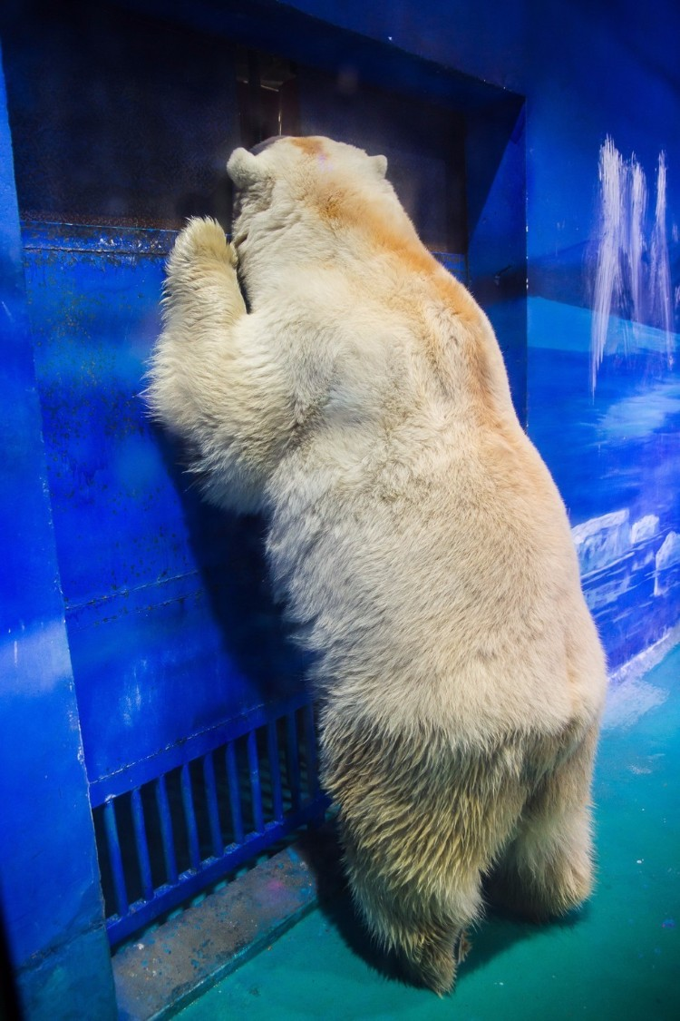 pizza-oso-triste-grandview-animal-asia-02