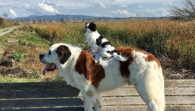 un-gran-perro-complacido-de-llevar-sobre-su-espalda-a-su-pequena-y-mejor-amiga-a-todas-partes-1