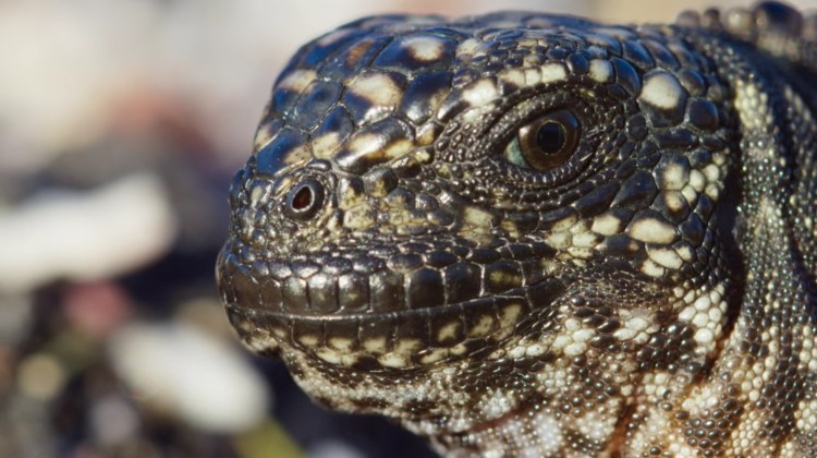 video-escape-iguana-serpientes-02