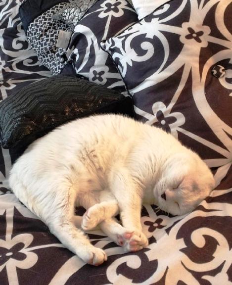 adopto-a-gato-sin-orejas10