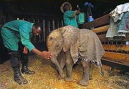 bebe-elefanta-1