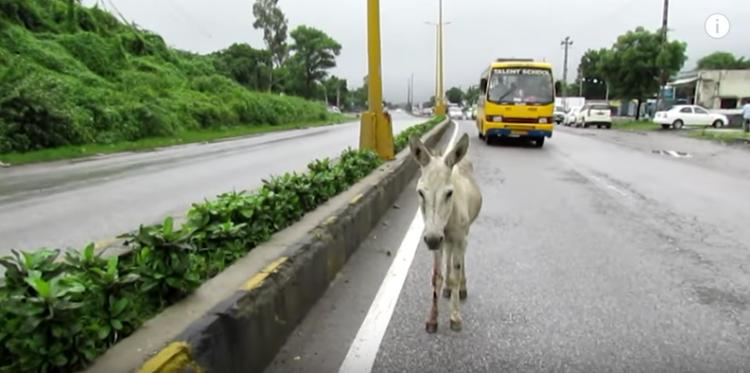 burro-herido1