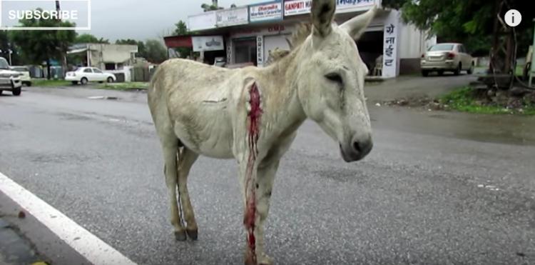 burro-herido2