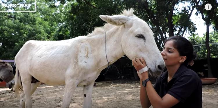 burro-herido6