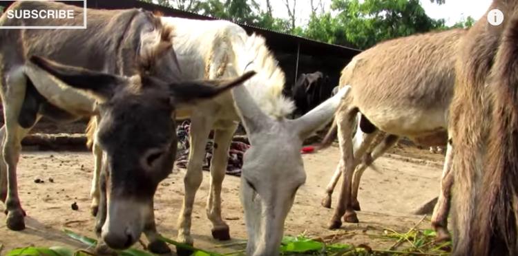 burro-herido7