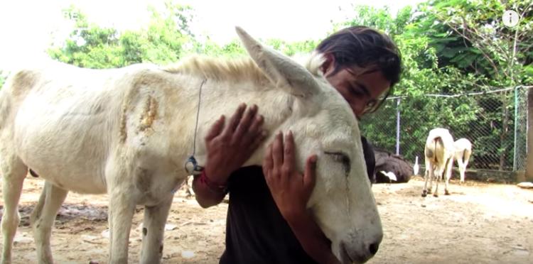 burro-herido8