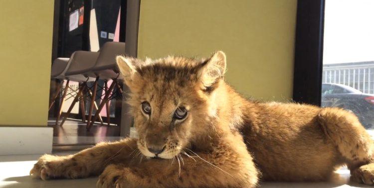 cachorro-de-leon-rescatado-circo
