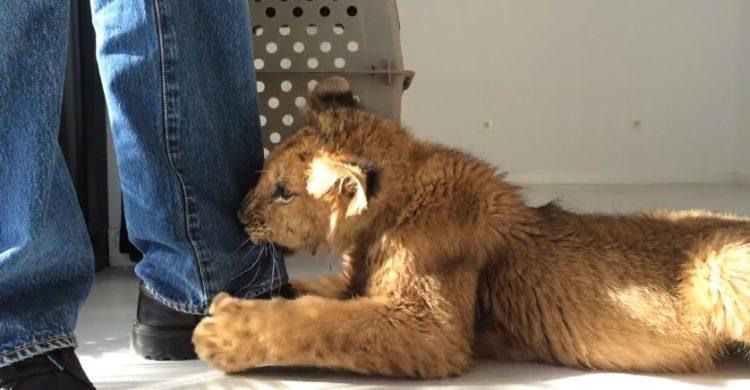 cachorro-de-leon-rescatado-circo4