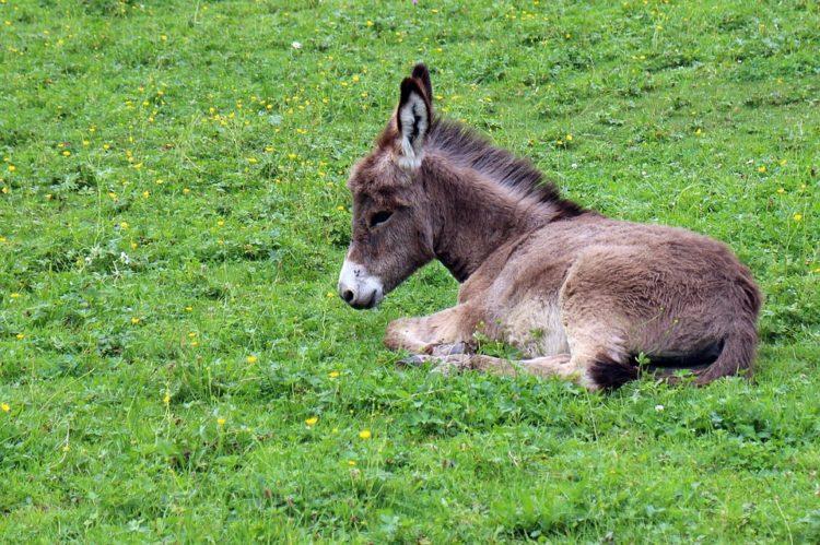 china-burros1
